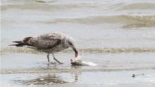 Lisbonne - Oriente - Parc das Naçoes - Passage du Tage, mouette mangeant un poisson