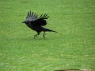 Sydney - Jardin botanique - Oiseaux, grand réveilleur
