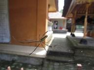 Tampaksiring - The Holly Spring Temple, araignée