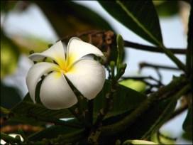 Broome - Fleur