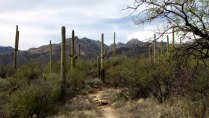 Arizona - Tucson - Sabino Canyon, cactus