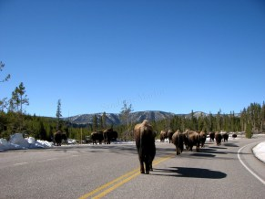 Wyoming - Yellowstone - Sur la route entre Madison et Norris - Bisons