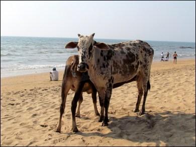 Goa - Anjuna - Vaches sur la plage, tout va bien !