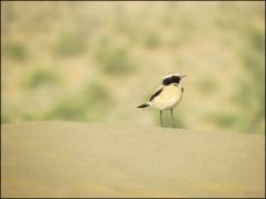 Jaisalmer - Désert du Thar - Oiseau