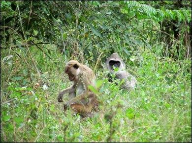 Parc National de Wilpattu - Mammifère, Singes, Langur sacré