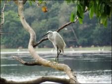 Parc National de Wilpattu - Oiseau, Aigrette garzette