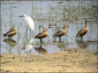 Parc National de Wilpattu - Oiseau, Canard Dendrocygne siffleur et Aigrette garzette